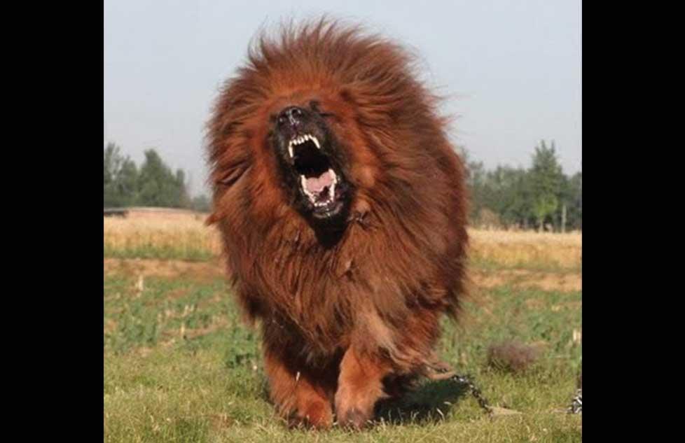 Pagan Casi 2 Millones Por Un Perro Mast 237 N Tibetano