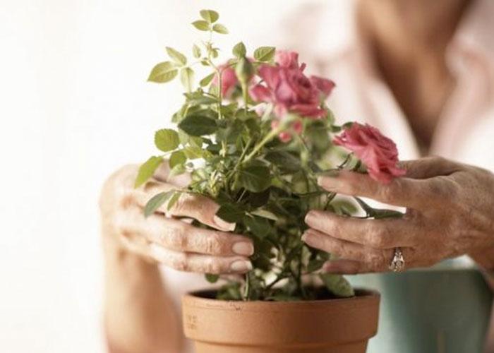 C mo plantar rosales en macetas mariela tv - Rosales en macetas ...