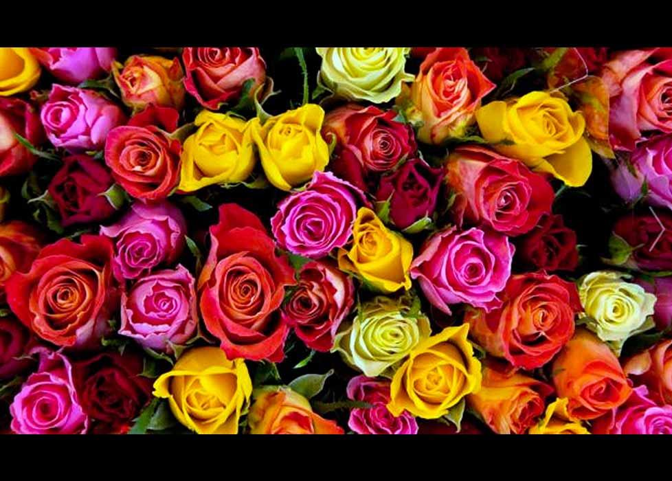 Significado de las rosas seg n su color mariela tv - Significado de los colores de las rosas ...