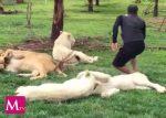 Tigre impide que su cuidador sea atacado