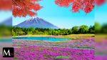 Cerezos rosas tiñen a Japón